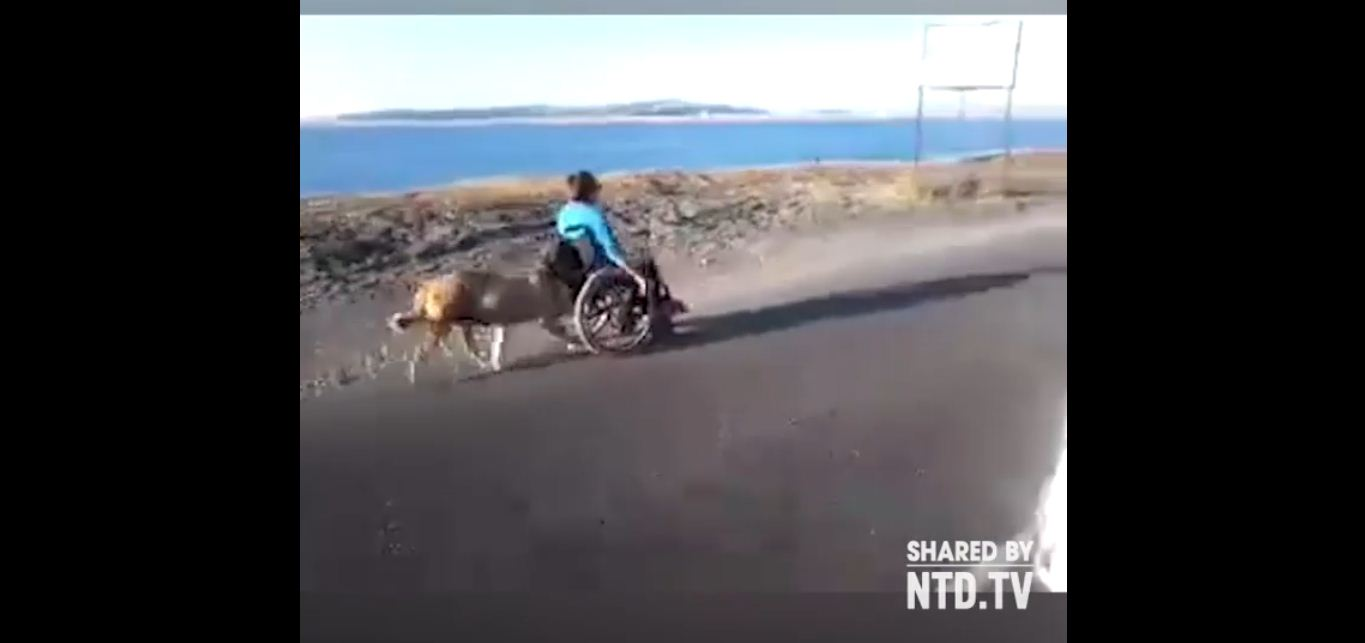 dog pushes human on wheelchair 2