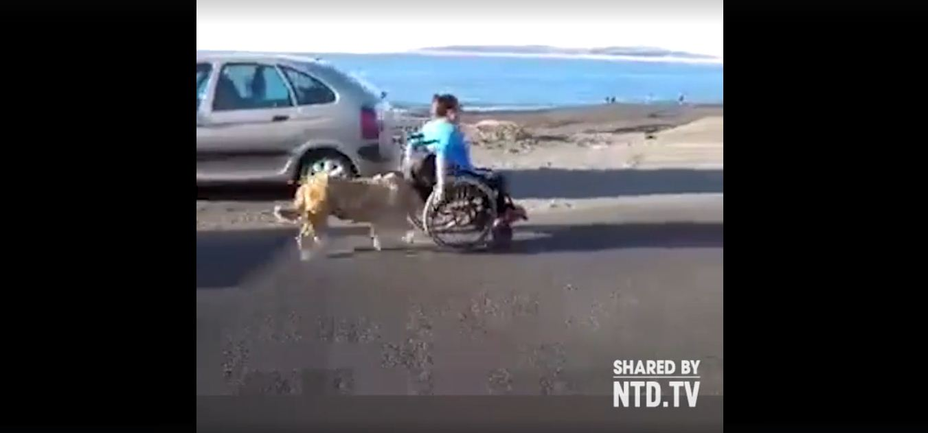 dog pushes human on wheelchair 3