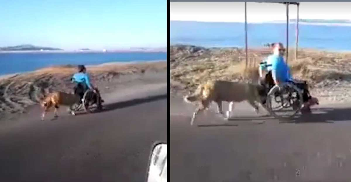 dog pushes human on wheelchair featured
