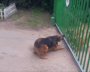 WATCH: Hilarious Viral Video of Dogs Who Stopped Fighting When the Gate is Opened