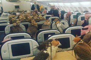 Saudi Prince Brings 80 Falcons on Airplane
