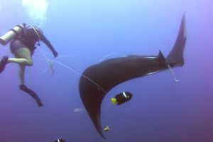 Giant Manta Ray Asks Divers for Help