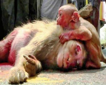 Baby Monkey Pictured in Tears after Mom Gets Run Over by Car