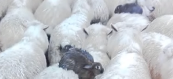 Smart Rabbits Hitched a Ride on Sheep to Escape Floods