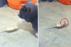 Internet Laughing at Wise Rat Who Played Dead to Escape the Cat