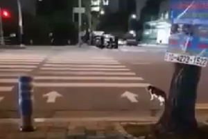 VIDEO: Clever Cat Knows How to Cross the Street