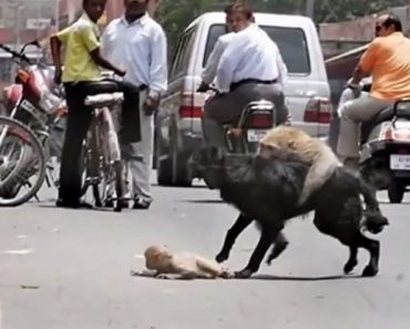 Monkey Mother Fights Dog to Save Her Infant's Life