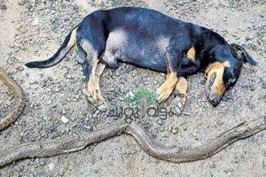 Brave Dog Dies after Battling 5-Foot Cobra to Save Old Owners