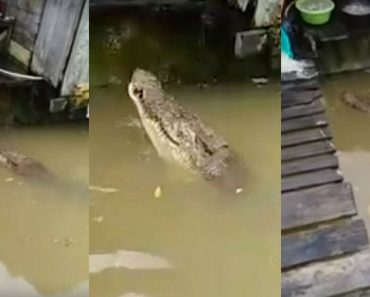 """This 15-Ft Crocodile Is This Indonesian Town's """"Friendly Neighbor"""""""