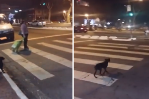 This Genius Dog Waits for the Light to Change Before Crossing the Street