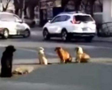 Four Dogs Valiantly Stand Guard Around Fallen Ally In The Middle Of A Busy Road