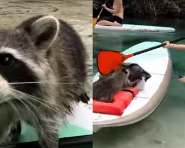 Curious And Sneaky Raccoon Tried To Steal Model Janna's Belongings