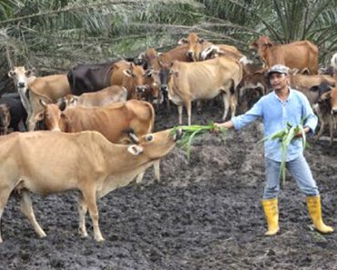 Malaysian Boy Quits School to Become a Farmer, Now a Millionaire Who Farms Cows