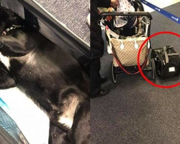 A Poor Dog Died After Flight Attendant Insists In Placing It On The Overhead Compartment