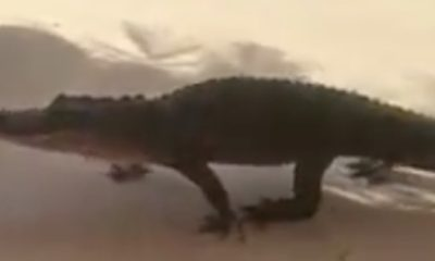 Customers were surprised to see an alligator window-shopping in a strip mall. [Image Credit: Fox 35 WOFL / Facebook]
