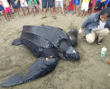 Giant Leatherback Turtle Gets Entangled in Fishing Nets, Gets Treated Before Release to Sea