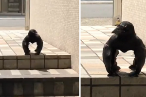 Crow Goes Viral for Looking Like a Gorilla, Video Got Netizens Scratching Their Heads