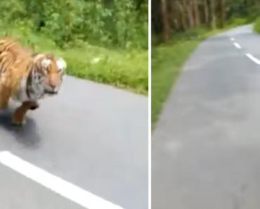 Video Shows Heart-Stopping Moment a Tiger Chases Guys on a Motorcycle