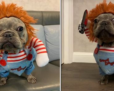 Dog Becomes the Most Adorable 'Chucky' Doll as It Wears Costume for Halloween