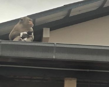 Monkey Takes Kitten as Pet, Brings It Everywhere and Even Tries to Feed It with Bananas