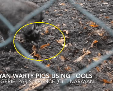 Video Shows Pigs Using Tools, Even Without Human Prompting