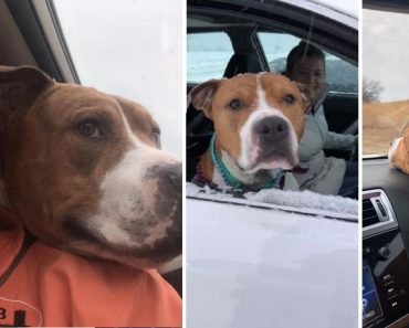 Stolen Pitbull Found 3,200km Away, Goes Home with Help of Relay Team with 30 Volunteers