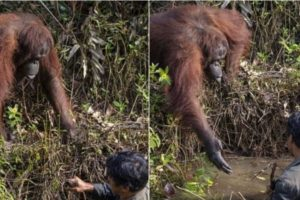 Wild Orangutan Offers to Help 'Save' Man from Snake-Infested Waters