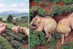 Elephants Wander into Village, Fell Asleep after Drinking 30kgs of Corn Wine