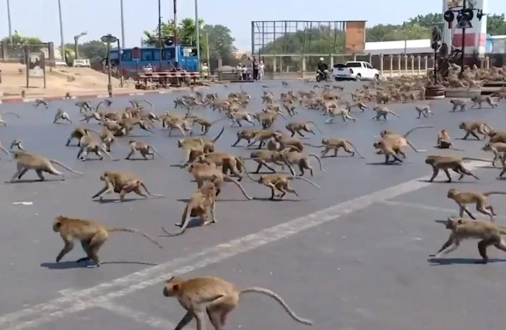 hungry monkeys are raiding towns