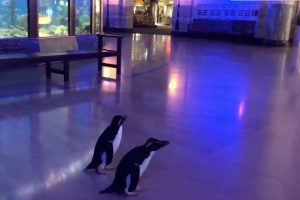 Penguins Allowed to Go on 'Field Trip' in Closed Down Zoo, Video Goes Viral