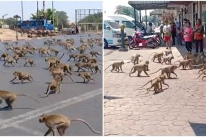 Hundreds of Hungry Monkeys Raid Towns after COVID-19 Drove Tourists Away