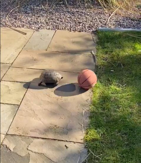 tortoise plays football