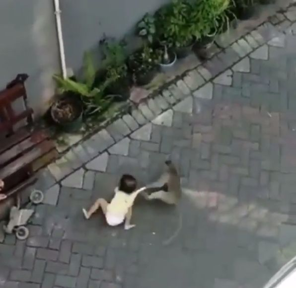 monkey tries to kidnap a toddler