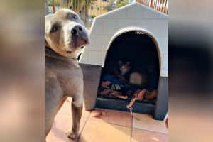 Pit Bull Offered Doghouse to Pregnant Stray Cat, Stands Guard Over Her Kittens