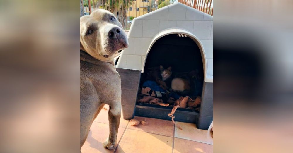pit bull offered doghouse