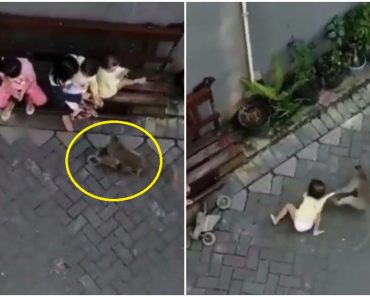 Alarming Video Shows Moment a Monkey Tries to Kidnap Toddler Bigger Than Itself