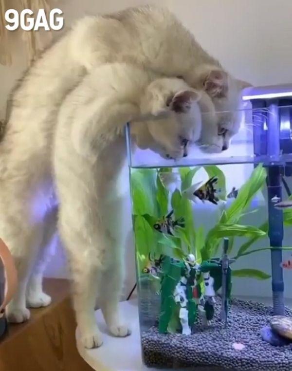 cats drink the water aquarium