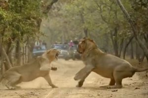 Video of Lioness Roaring at Lion Goes Viral, Netizens Say They're Like Married Humans