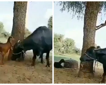 Smart Goat Gets Help from Buffalo to Reach Food, Resourceful Trick Goes Viral