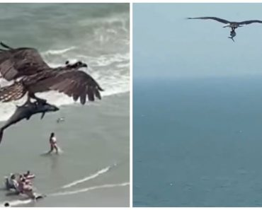 Massive Bird of Prey Spotted Carrying Shark It Plucked Out of the Ocean