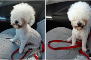 Woman Leaves Dog at Groomer, Receives Dog with Hilarious Haircut