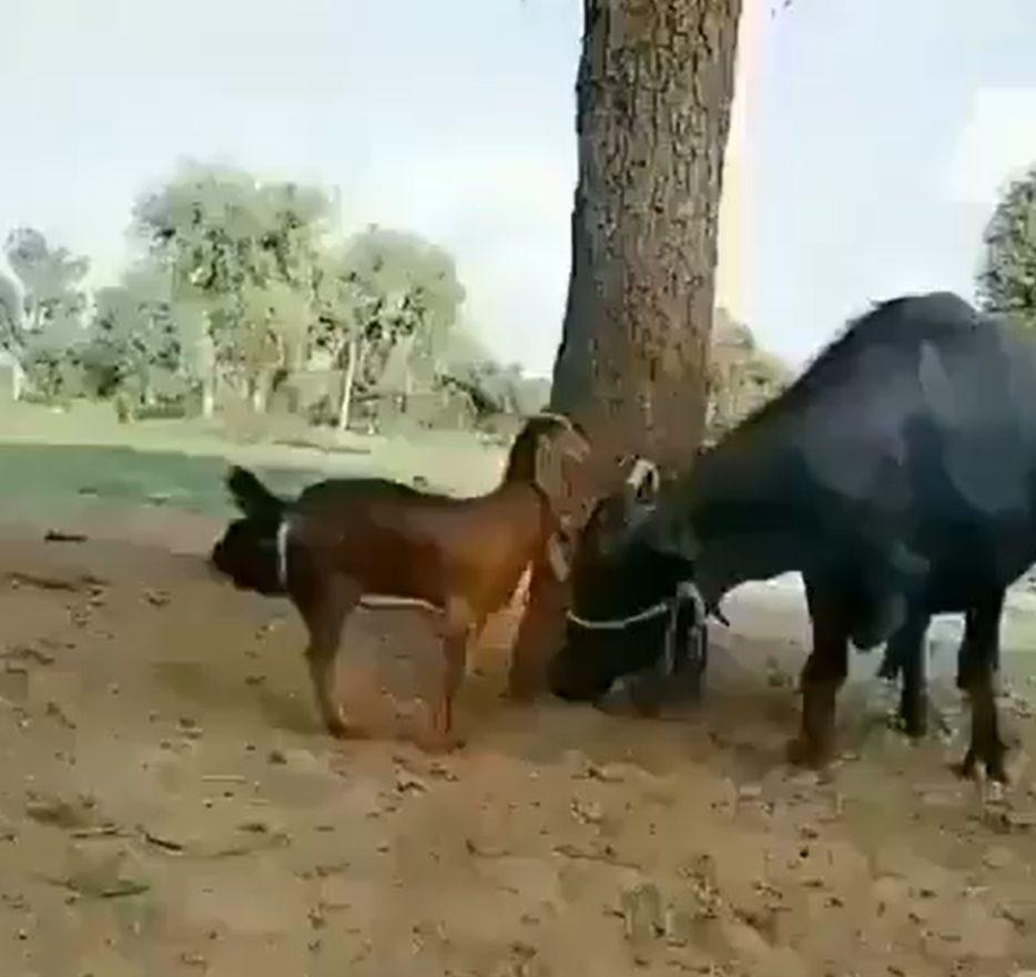 smart goat gets help
