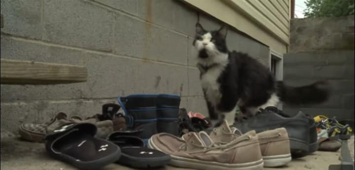 cat loves shoes