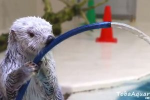 Adorable Video of Sea Otter Putting Out Fake Fire Goes Viral