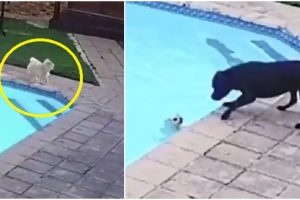 Hero Dog Goes Viral after Saving Puppy from Drowning in Swimming Pool