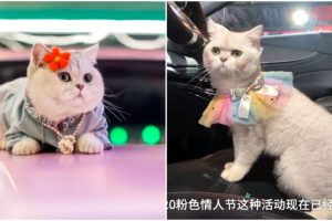 This Cat Officially Works as Car Model, Earns $1,500 Per Appearance