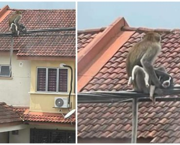Monkey 'Kidnaps' Puppy, Hangs Out on Utility Cables with Its New Pet