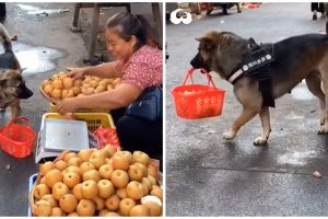Dog Independently Goes to Market to Buy Fruits, Brings Basket and Money