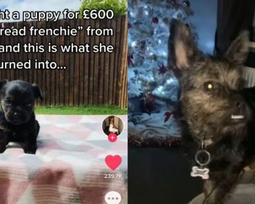 Owner Surprised to Find Out the £600 'Purebred Frenchie' She Bought Was From Different Breed