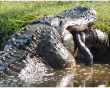 Video of Massive Alligator Swallowing a Smaller One Goes Viral